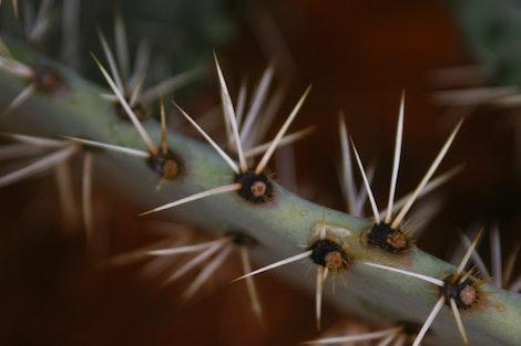 Cactus Pricker #2