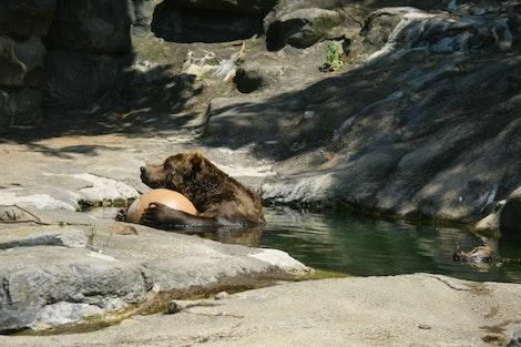 Kodiak Bear at Pittsburgh Zoo