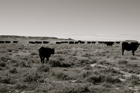 Trailing Cattle