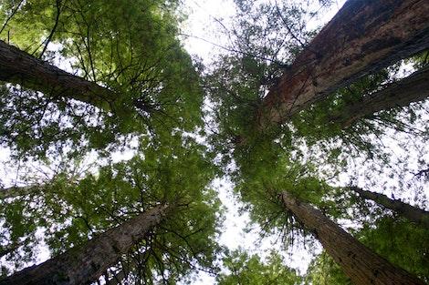 Redwoods Sky