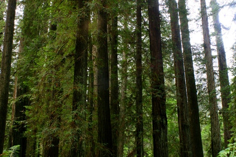 The Redwoods Forest